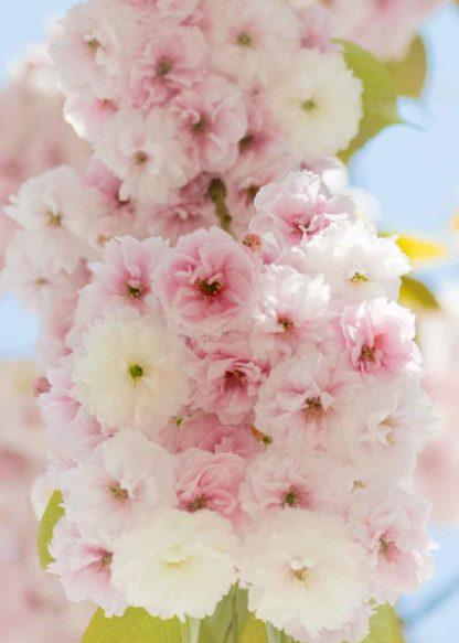 Kirschbluete-pastell