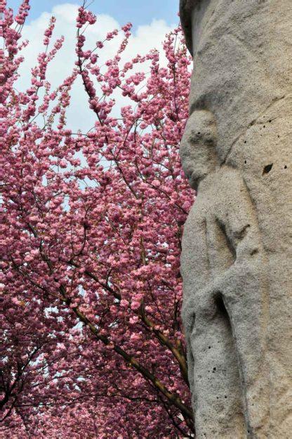 Kirschbluete-jupitersaeule-bonn
