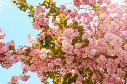 kirschbluete-blauer-himmel