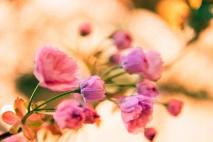 Kirschbluete-knospen