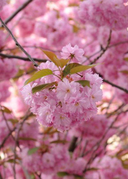 kirschbluete-puschel-rosa