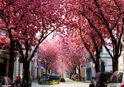 kirschbluete-cherry-blossoms-bonn-altstadt