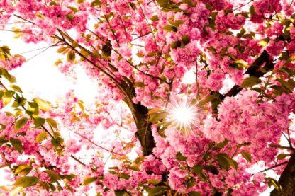 kirschbluete-Sonne