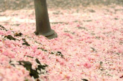 kirschbluete-bonn-boden